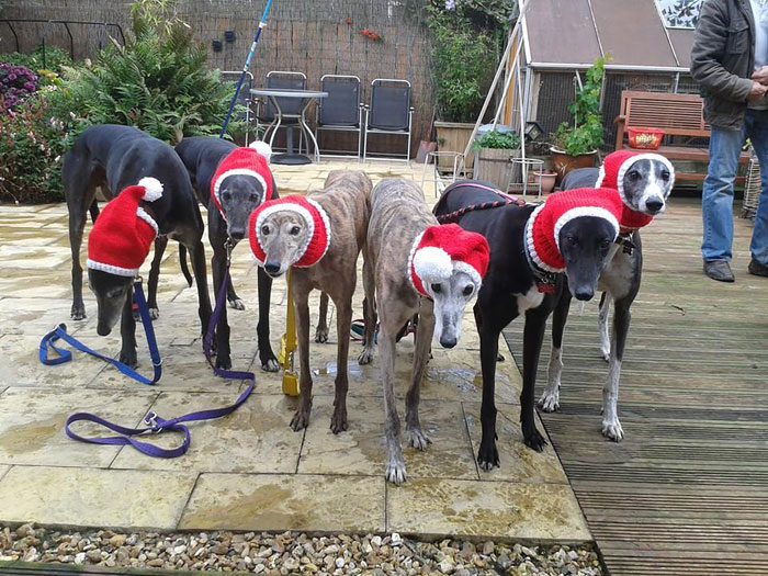 abandoned-greyhounds-christmas-sweaters-knitted-with-love-jan-brown-9