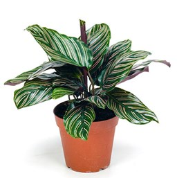 calathea-ornata-costa-farms-houseplant